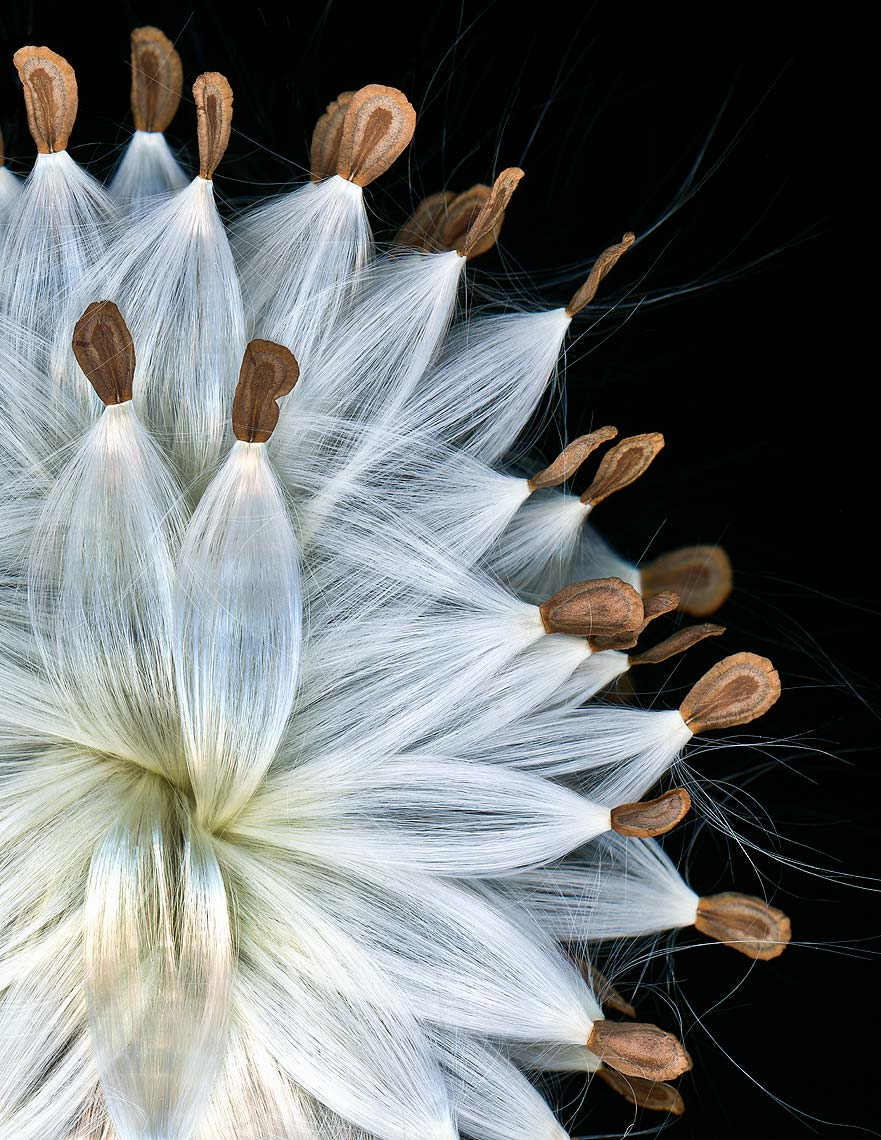 Fine art, nature series, Andy Goodwin Photography, Milkweed